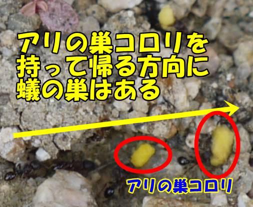 アリの巣を探す方法