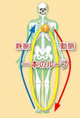 動脈静脈一本のループ
