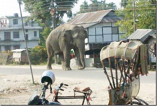 wild_elephant_in_birtamod