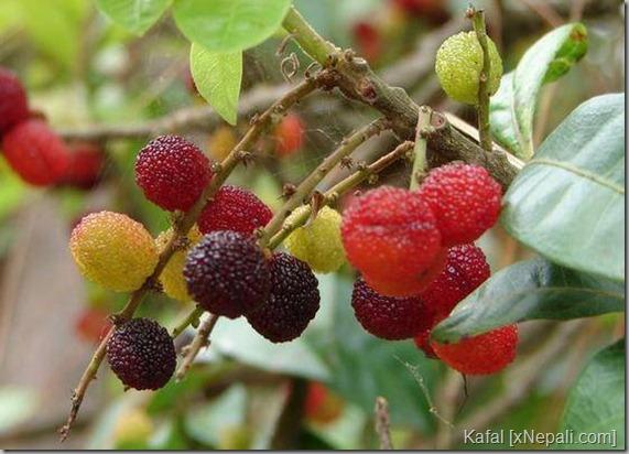kafal_in_tree (2)