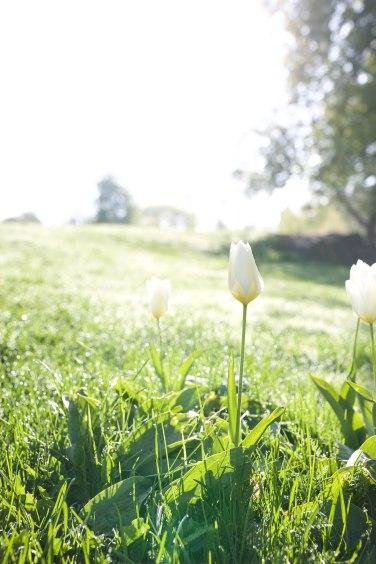 morning tulip3 (1 of 1)