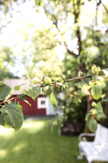 apple tree2 (1 of 1)