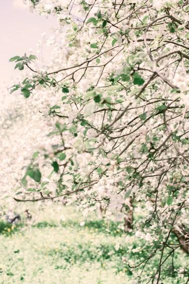 apple tree blossom May5