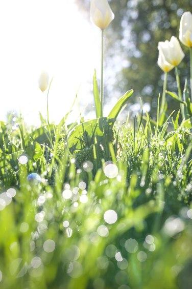 morning tulip1 (1 of 1)