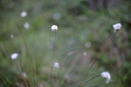 Store-Mosse Nationalpark - Wollgras, wie von Feen dahingetupft - Einhörner gab es dennoch nicht zu sehen