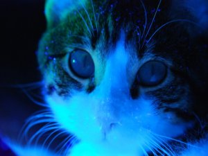 cat by blacklight