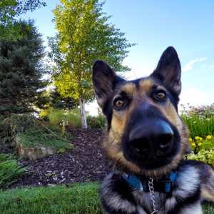GoPro German Shepard