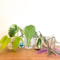 Plant Cuttings Water Propagation Tips