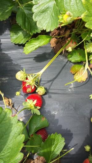 strawberries 5