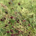 草原には吾亦紅(われもこう)がさいています 草原はすばらしい