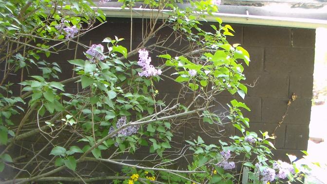 20140514XD-LilacsBlooming 008_smallr