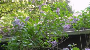 20140514XD-LilacsBlooming 017_smallr
