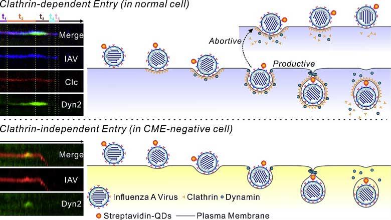 量子點單病毒示蹤技術揭示流感病毒依賴發動蛋白的兩種入胞途徑- X-MOL資訊