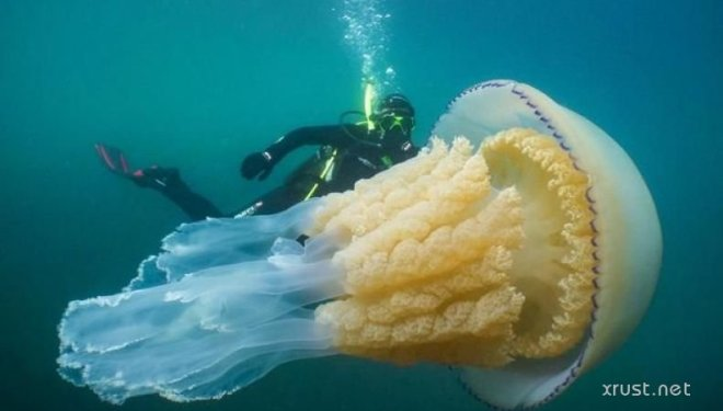 Обнаружена медуза гигантских размеров