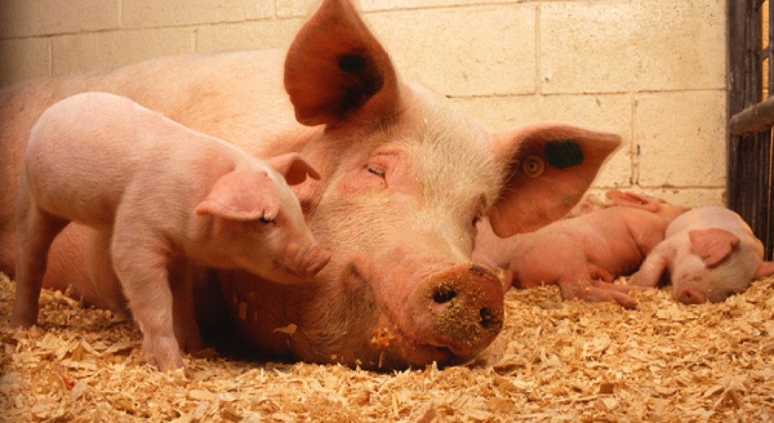 Can Chimeric Pigs Solve Our Human Organ Shortage Crisis?