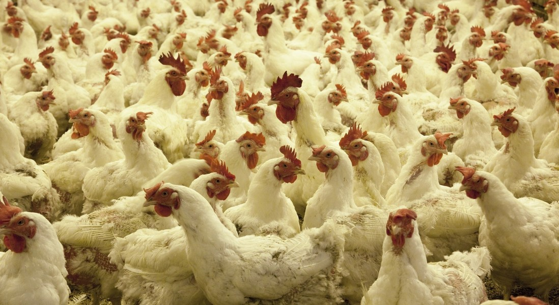 IKEA Announces Welfare Standards for Poultry Products