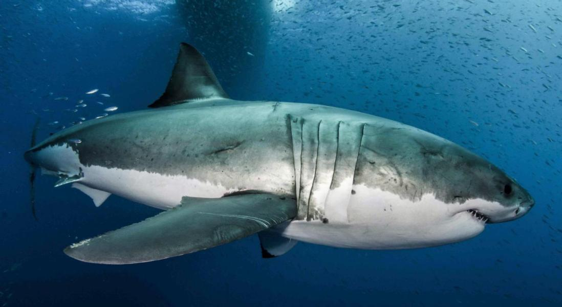 Why Great White Sharks are Invincible: It's in Their Genes