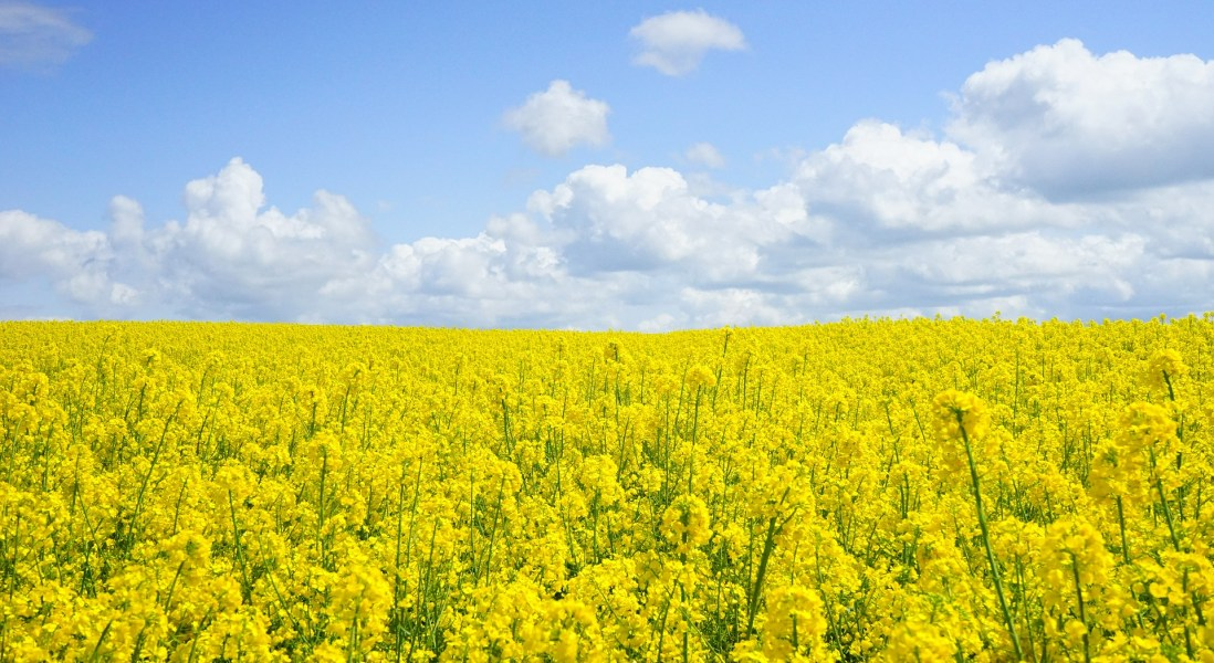 Biotech Start-Up Claims Rapeseed is the Next Best Plant-Based Protein