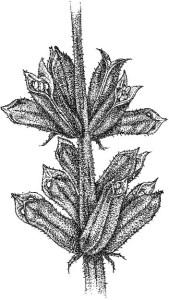 Sesame Plant equinom