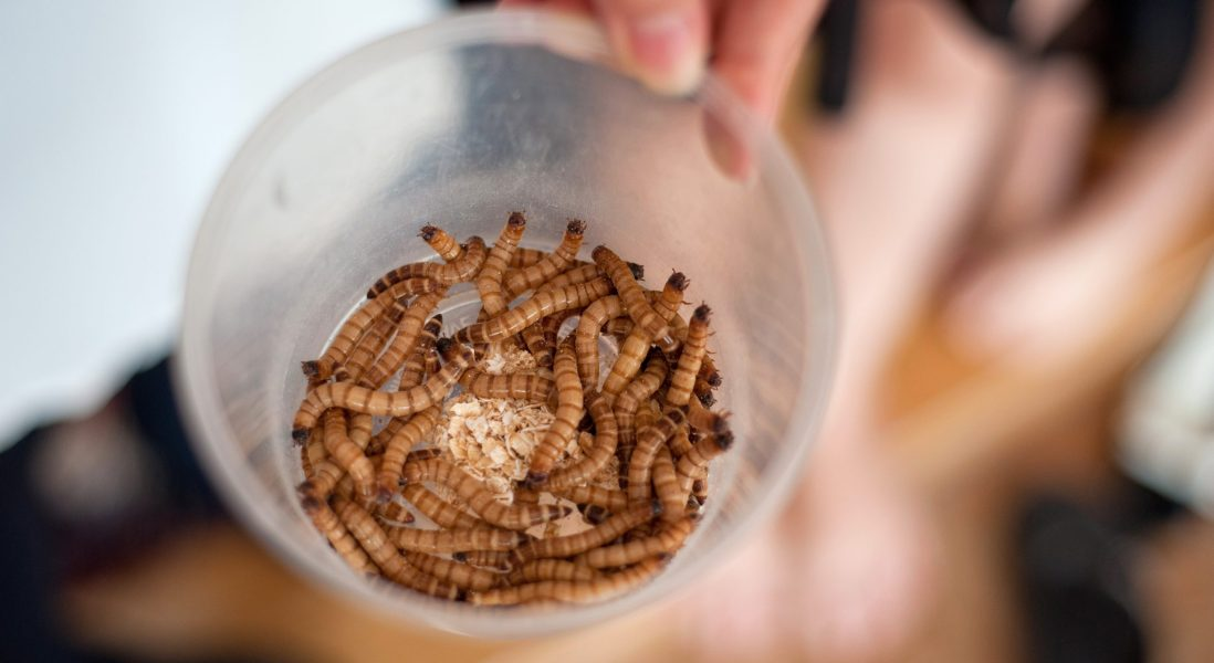 EFSA Finds Mealworms Safe for Human Consumption, But Will Consumers Agree?