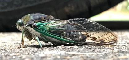 Cicada 12