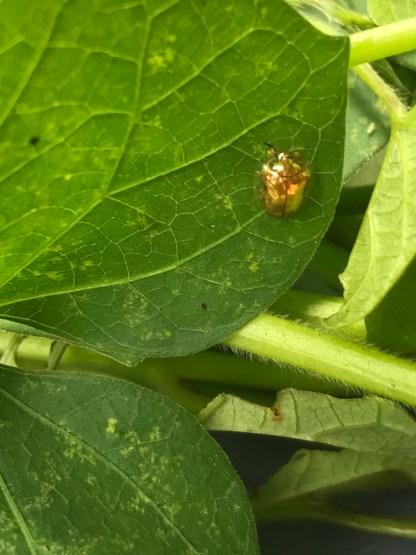 Golden Ladybug 3