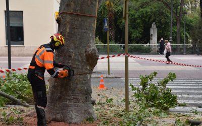 L'Ajuntament de Xàtiva inicia les actuacions urgents en els plataners en pitjor estat
