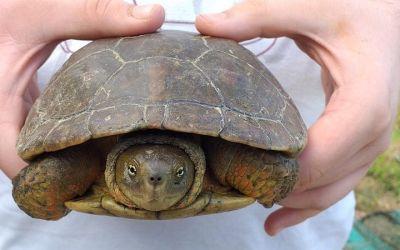 Acció Ecologista Agró la Costera censa 27 tortugues d'aigua ibèriques al Riu Canyoles