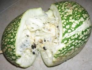 abóbora-chila ou chia