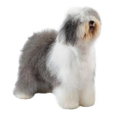 Características de la raza de perros Bobtail o Antiguo Pastor Inglés