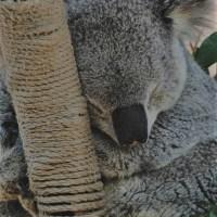 Climate Change Threatening Koalas in the Bush