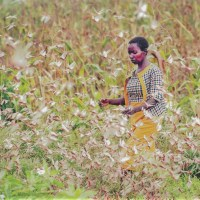 Climate Change Negatively Affects Agriculture in Horn of Africa