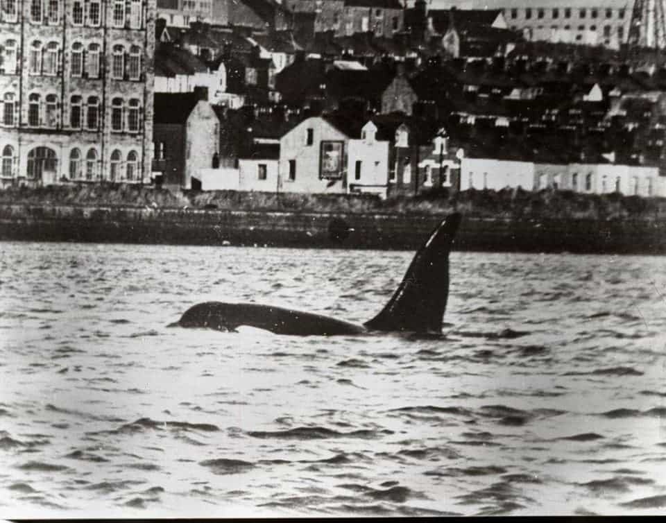dopey Dick the whale swimming in the Foyle River Derry - from the Derry Journal