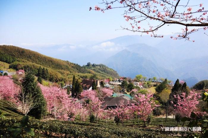 新竹山上人家櫻花大爆發!新竹五峰賞櫻景點推薦山上人家森林農場,超美雲海與櫻花林如人間仙境