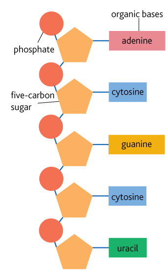 Structure of RNA | Year 12 Human Biology