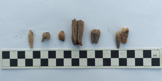 A selection of teeth (middle one probably from a sheep)