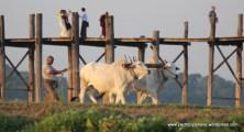 working buffalo near U Bein Bridge