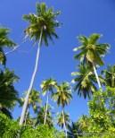 Towering palms on Ile Boddam