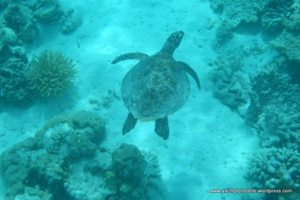 Small green turtle