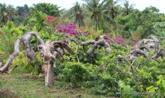 Gnarled pruned ylang ylang trees