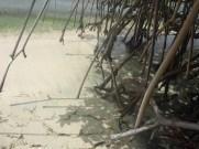Mangroverötter som ännu hänger iluften