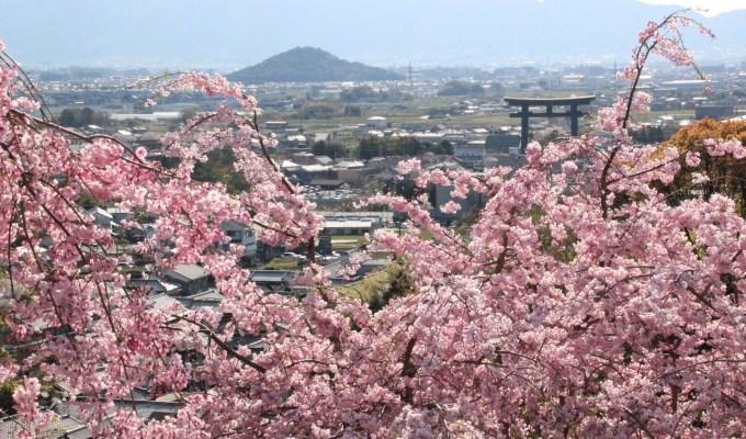 [3月下旬-4月上旬]大神神社 大美和の杜 展望台 桜