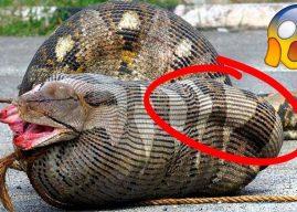 10 cамых cтранных вещей, найденных внутри гигантских змей(ВИДЕО)