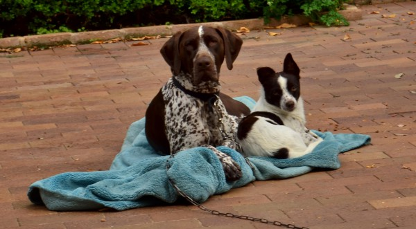 The dogs and principal chicken-killers, Annie (left) and Henry (right).