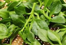 tanaman herbal diabetes
