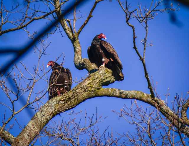 wild turkey buzzard birds on tree branch against blue sky