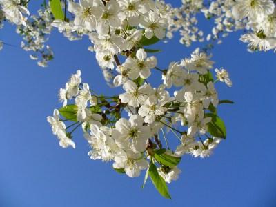 cherry-tree-93737_1280