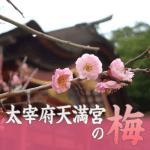太宰府天満宮の梅見頃。2018年の開花状況と梅祭り最新情報
