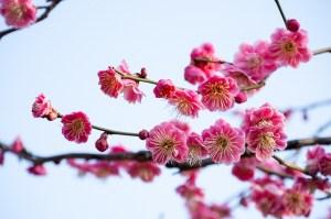 ikegami_ume_004