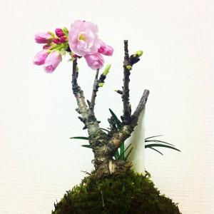 桜盆栽の育て方と手入れ方法は正しい手順で楽しみましょう。
